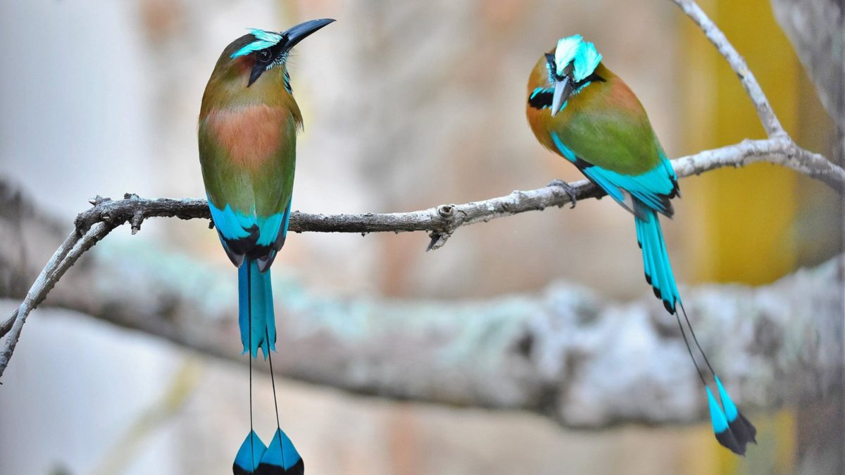 10 Things You Should Know About Turquoise-Browed Motmot