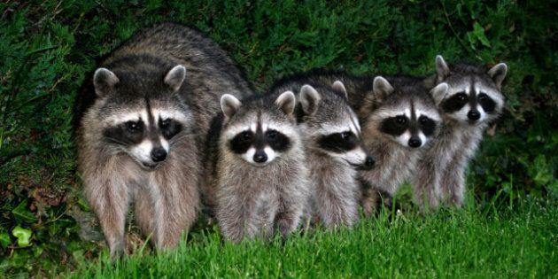 raccoons population