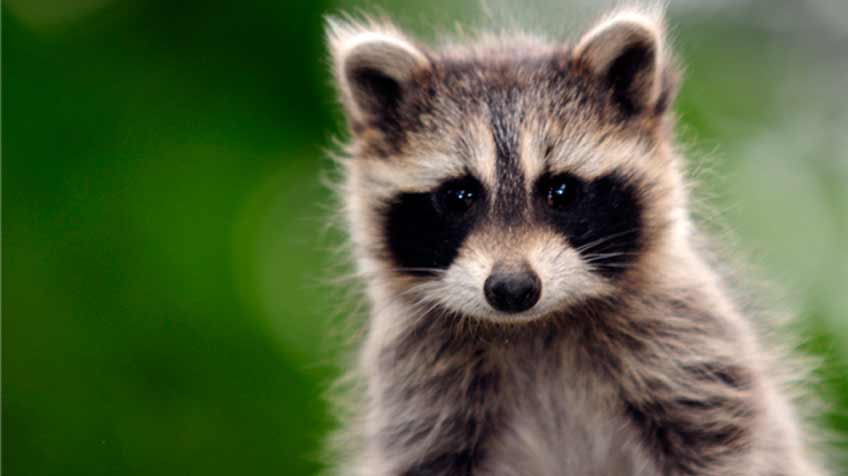 9 facts about raccoons