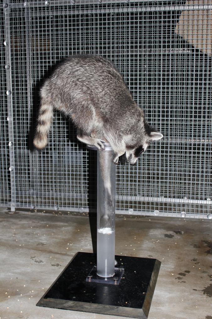 raccoon important information