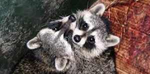 facts about raccoons
