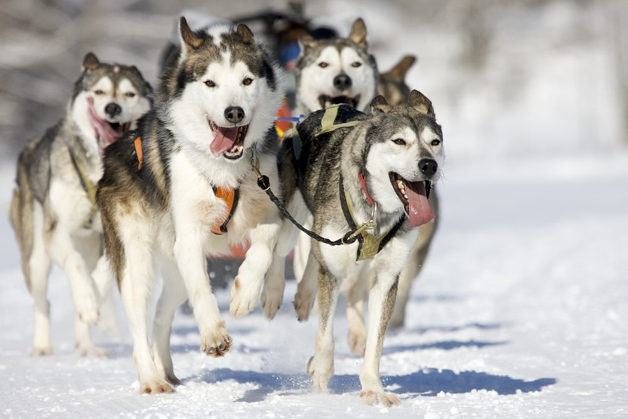 Tours And Tips For Dog Sledding In Rovaniemi
